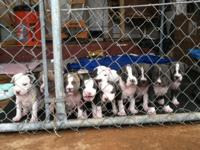 Pure breed pitbull puppies. 7 weeks. 4 boys 4 girls