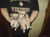 I have 4 Pomeranian young puppies looking for great