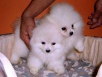 Animal Type: Dogs Breed: Pomeranian Pure Breed