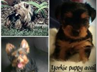 Pomeranians, toy poodles, and Yorkie, all for sale. All