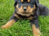 Adorable German Rottweiler Puppies! Pure breed, come