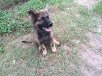 Pure Breed Registered German Shepherd puppies. 3 ladies