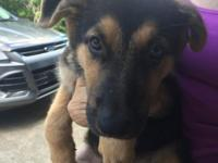 Pure Breed CKC registered German Shepherd puppies. Both