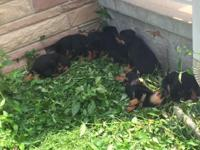 Pure-breed Rottweiler Puppies - 5 Males - 2 Females