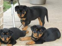 Pure Breed Rottweiler puppies for sale Good with other