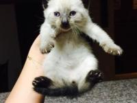I have 3 beautiful seal point Siamese kittens left for