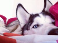 pure breed siberian husky puppy with ice blue eyes he's