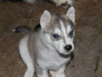 I have very cute and adorable siberian husky puppies