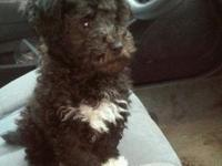 I have an 11 week old male toy poodle. We have to sale