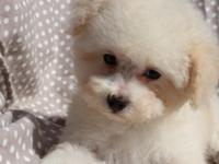 Such an adorable toy poodle male puppy!!! white color