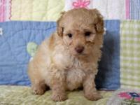 This is a beautiful little toy poodle puppies girl.