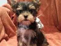 Adorable Yorkie puppies have been vet. checked, up to