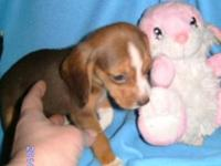 Lovable Registered Pure Beagle Chocolate Brown young