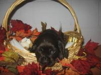 I have 1 male chocolate puppy and 4 female chocolate