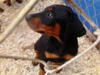10 week old Pure Doberman Puppies. Wormed and Up to