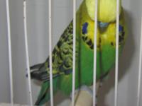 I have 10 show quality 100% english budgies for sell