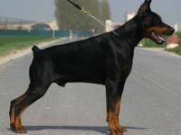 8 strong Pure European AKC Doberman pups were just born