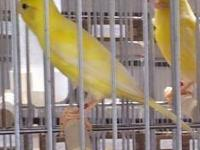 I have pure Russian canaries with flute song.They are