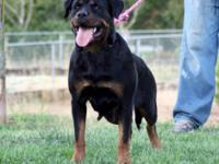 Expectant women Rottweiler. Parents are Pure species,