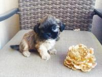 PLEASE READ!! I have these beautiful Imperial Shih-tzu