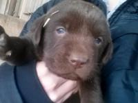 These adorable pure Lab young puppies are looking for