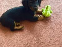 Beautiful puppy 11 weeks old Black and Tan male with