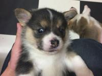Ryan is a cute and lovable Welsh Corgi puppy ready to
