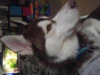 I am selling my husky, (Wolf) as I am moving and can't