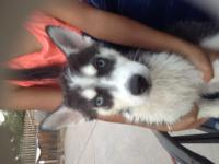 I have 4 Siberian husky puppies born on