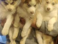 3 Red and White and 1 White Female Siberian
