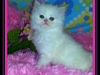 Daisy and Lily are stunning snow white Persians with