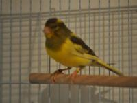 we have a huge sale on spanish timbrado canaries going