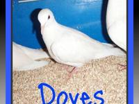 I have pure white doves for sale. All the doves