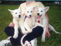 I have (3) beautiful female pure white german shepherd