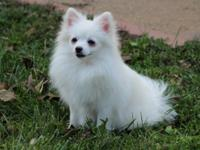 I have a beautiful 11 months old female Pomeranian up
