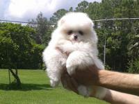Available very fluffy pure white pomeranian puppy male,