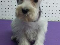 Stunning micro mini Schnauzer female. 11 weeks old pure