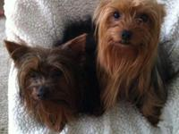 I HAVE 3 YORKIE PUPS ALL MALES, VET CHECKED, DEWORMED,