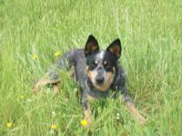 I have 4 females and 1 male blue Heeler puppies left.