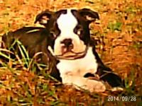 I HAVE TWO MALE BOSTON TERRIER PUPPIES. THEY WILL BE