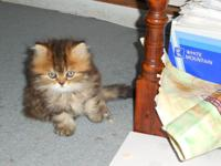 Two Persian doll faced kittens. The boy is tabby and