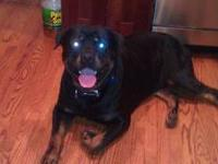 Zeus is a 3 1/2 year old pure bred male ROTTWEILER