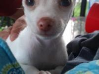 Pure white teacup chihuahua puppy with blue with tint