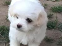 Rehoming a Maltese female puppy. DOB: 3/31/15. Adorable