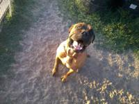 I have a three year old Mastiff that is well trand.