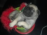 PUREBREED PUG PUPPIES FOR SALE. BORN 5/8/2012. BLACK