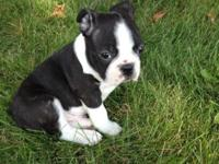 Purebred Black and White male Boston Terrier Puppy. He