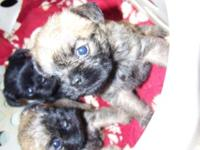 Purebred Brussels Griffon Puppies for sale, 2 females
