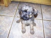 Purebred Brussels Griffon Puppies for sale, 1 lady and