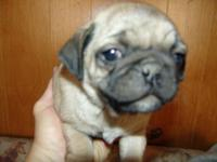 2 lovable Male pug new puppy's, 6 weeks old and I